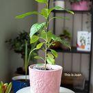 Citroenplant kweken uit pit: zo doe je dat - This is Joan