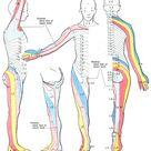 Dermatomes and cutaneous nerves - posterior - Dermatome (anatomy) - Wikipedia
