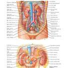 Kidneys in Situ Anterior Views Anatomy