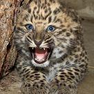 Baby Leopard