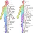 Major dermatomes and cutaneous nerves - Anterior and ...