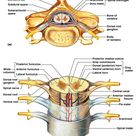 Spinal Cord Crossection