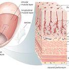 Gastric gland   anatomy