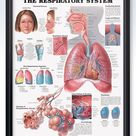 The Respiratory System Chart 20x26