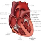 Cross Section of the Heart