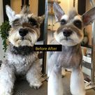 14 Fascinating Haircuts For Your Schnauzer