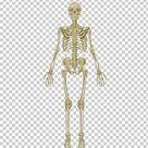 The Skeletal System Anatomical Chart Human Skeleton Human Body Anatomy Bone PNG   Free Download