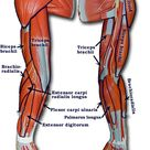 Arm muscles names