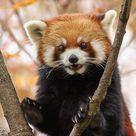 Kızıl Pandalar
