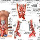 Anatomy Physiology of Thyroid Gland