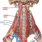 Cervical Motor Control Part 1 - Clinical Anatomy of Cervical Spine — Rayner & Smale