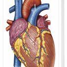 Box Canvas Print. Gross anatomy of the human heart