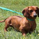 Adoptable Dachshund Dog