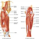 Hip Anatomy Muscles And Tendons And Hip Joint Muscles And Tendons   Best Diagram Collection
