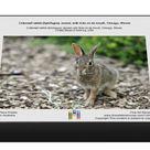 1000 Piece Puzzle. Cottontail rabbit (Sylvilagus), leveret, with