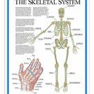 25cm Photo. Labelled Human Skeletal System Poster