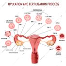 Female reproductive system ovulation and fertilization process stages on white background realistic vector illustration