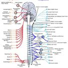 Nervous system of animals, central and peripheral nervous system of animal