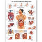 Gastrointestinal System Chart Poster Map Canvas Painting Wall Pictures for Medical Education Doctors Office Classroom Home Decor   50x60cm no frame