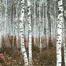 Silver Birch Forest, China