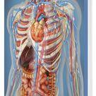 Box Canvas Print. Human body showing heart and main circulatory