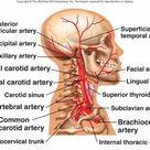 BIO 202 Arteries and Veins KEY