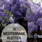 Mediterrane Kletterpflanzen