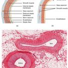 Histology of Blood Vessels: Wall Structure of Arteries and Veins