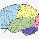 Download Blank Brain Diagram - Cognitive Science: Questions And Answers Clipart (#234670) - PinClipart