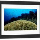 Framed Photo. Big Brain Corals (Madreporaria), Tobago, Caribbean