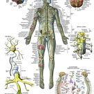 Nervous System Anatomy Poster   Laminated   Autonomic Nervous System & Brain Anatomical Chart   18