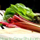 Rhubarb Plants