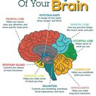 Brain Myths and Facts