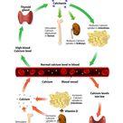 Calcium, phosphorus, parathyroid hormone and vitamin D – basic information
