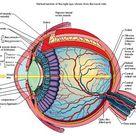 Human Eye Anatomy Pics