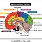 Median Section of Human Brain Diagram