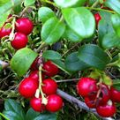 Health Benefits of Lingonberries (Cowberries)