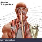 Human anatomy showing deep muscles in the neck and upper back Stock Photo - Alamy