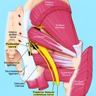 Anatomy of the Pudendal Nerve | Health Organization for Pudendal Education