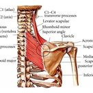Levator Scapula Tension Why You Should Minimize Repetitive Overhead Arm Actions — Stacy Dockins