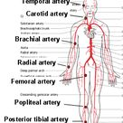 Anatomy Lecture Notes Unit 7 Circulatory System - The Blood Vessels