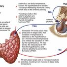 A1 Poster. Relation of thyroid and pituitary gland