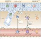 langerhans cells