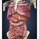 10 inch Photo. Midsection view showing internal organs of human