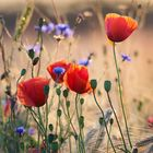 Field of poppies instagram Account