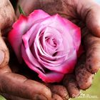 PassionRoses Pinterest Account