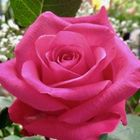 Pink Rose Pinterest Account