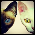 子猫 Kitten Blue ล กแมว タイ Thai ไทย 野良猫 地域猫 Stray Alley Cat แมว アンティークタイキャット ล กแมว แมว ไทย