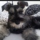 Schnauzer Smile Pinterest Account