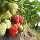 Trend Erdbeeren Pflanzen 2020 Pinterest Account